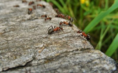 Sharing Your Home With Ants